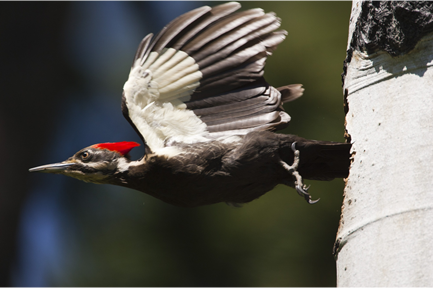 Pileated Woodpecker by Paul Bannick