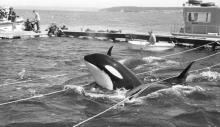 Wallie V. Funk image of the 1970 whale capture at Penn Cove on Whidbey Island, Washington.  Wallie V. Funk Papers and Photographs, CPNWS.